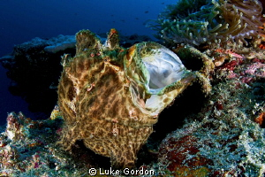 Giant Frogfish having a yawn, using the tokina and teleco... by Luke Gordon 